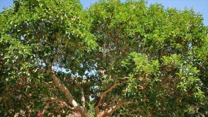 Αργά  αναπτυσσόμενο αειθαλές δέντρο Ανατολική Ροδοπη - Dolno Luk