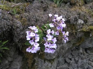 Αποθέματα του φυτού  Rhodope haberlea κοντά στο χωριό Dyadovtsi