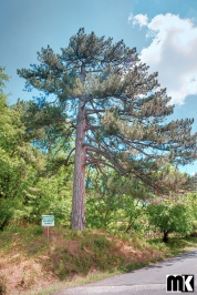 Αρχαίο δέντρο